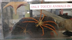 A gigantic sea spider in the touch tank.